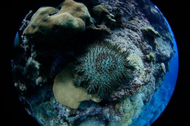 The main Hawaiian Islands are surrounded by small, fringing reefs that are home to roughly 50 coral species — 20 percent of which are unique to the area — and invertebrates like the crown-of-thorns starfish. (Photo credit: Mitchell Tartt/NOAA)