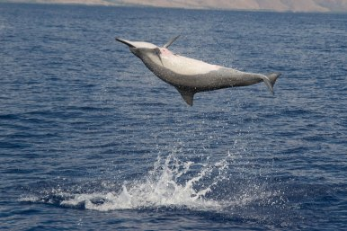 The spinner dolphin is named for its unique habit of leaping out of the water and spinning in mid-air. (Photo credit: Ed Lyman/NOAA permit #14097)