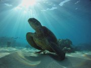 The green sea turtle is the most common sea turtle in Hawaiian waters. Primarily vegetarians, they feed on marine plants like algae in shallow coastal waters. Every 2 to 5 years, these sea turtles migrate across hundreds of miles of open ocean to mate and nest in the Northwestern Hawaiian Islands at French Frigate Shoals. (Photo credit: Ed Lyman/NOAA)