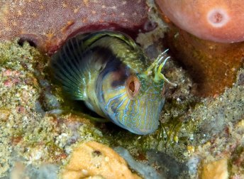 More than 200 species of fish visit Gray's Reef National Marine Sanctuary. The seaweed blenny uses its long ventral fins to perch on the seafloor and on algae. It relies on camouflage to avoid predators, but if you're lucky you might see a small head poking out and keeping a watchful eye on the surroundings. (Photo: Greg McFall/NOAA)
