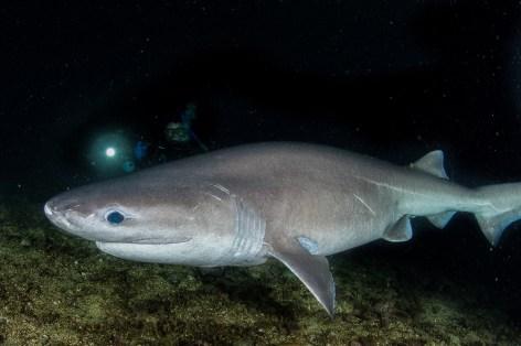 Sixgill-shark_Barkley-Sound_Peter Mieras