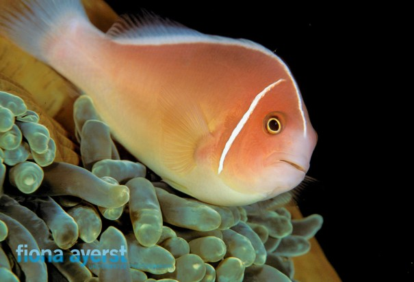 A good solid shot of a clownfish is always a winner and the 60mm lens works well to get it.