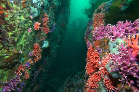 Get your fill of brightly colored corals without going to the tropics. California hydrocorals thrive in the swift offshore currents at Outer Pinnacles, one of Monterey Bay National Marine Sanctuary's most popular dive sites. (Photo: Chad King/NOAA)