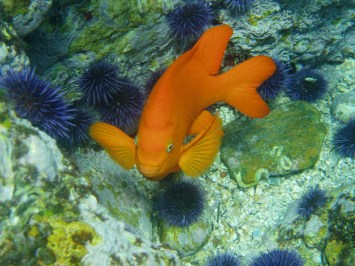 The garibaldi is one of the Channel Islands' most iconic inhabitants. California's state marine fish, garibaldis are extremely territorial and will fend off larger fish and even divers by making noise, nipping, and making aggressive passes. (Photo credit: Claire Fackler/NOAA)