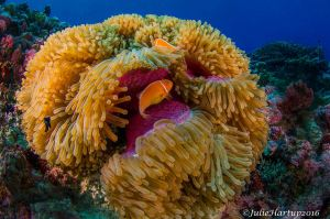 Pohnpeian anemone © Julie Hartup, Micronesian Conservation Coalition