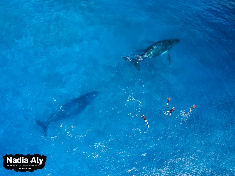 An aerial overview of some swimmers with three humpback whales. The mom and calf in front, with singer/escort behind.
