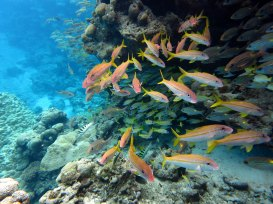 While diving in National Marine Sanctuary of American Samoa, a curious school of fish just might check you out. Here, ta'uleia (goatfish), savane (bluestripe snapper), and sugale (six-barred wrasse) swim through the reef. (Photo: Wendy Cover/NOAA)