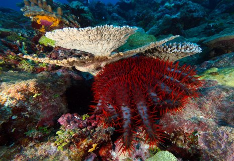 Beautiful but deadly: crown-of-thorns starfish eat coral, and population explosions in American Samoa have made them a threat to reef health. Help the reef thrive by reporting any crown-of-thorns starfish you see to the sanctuary. (Photo: Greg McFall/NOAA)