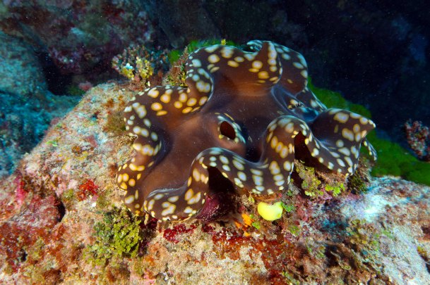 You can find giant clams throughout National Marine Sanctuary of American Samoa, particularly at Fagalua/Fogama'a and Ta'u. Like corals, these enormous bivalves get their bright colors from symbiotic algae that live in their mantle tissues. (Photo: Greg McFall/NOAA)