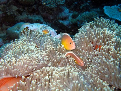 Dive at Aunu'u for a chance to see pink anemonefish nestled into anemones. (Photo: Wendy Cover/NOAA)