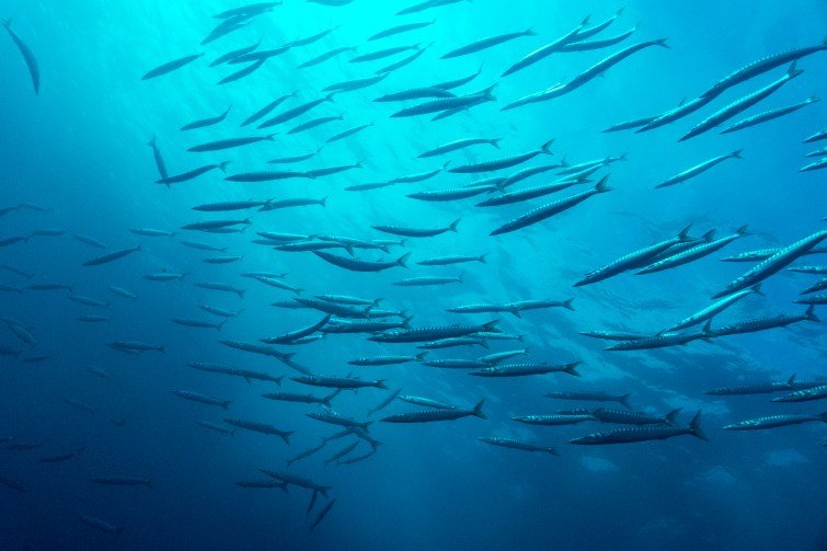 Dives in the Azores offer the chance to see not only macro life, but also schooling fish like these chevron barracuda. (Photo credit: Joao Bruges)