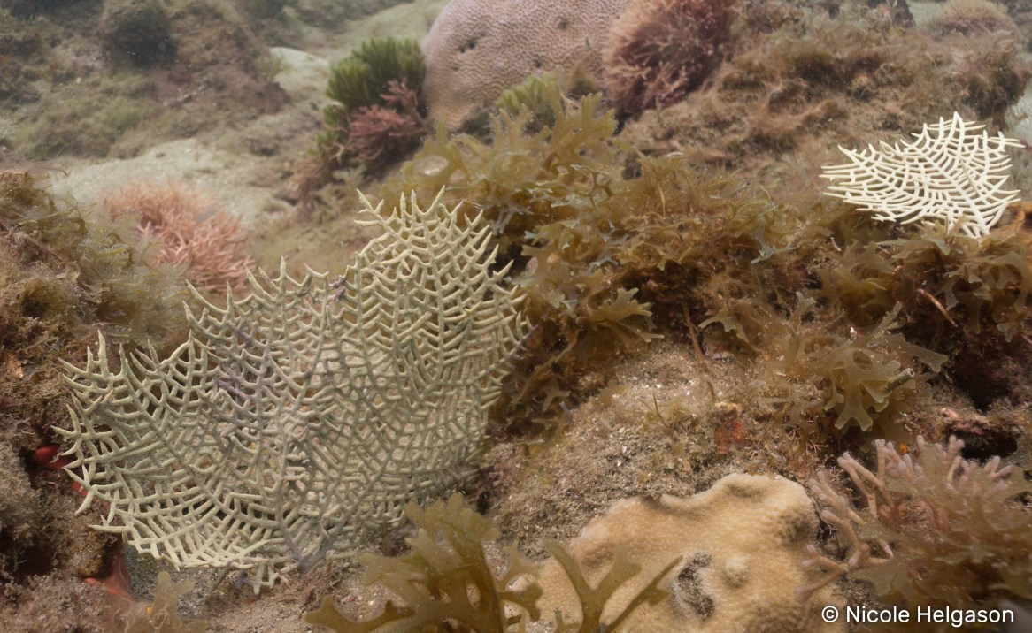 The wide-mesh sea fan is the smallest Caribbean sea fan. The branches have a wider spacing than the common and Venus sea fan.