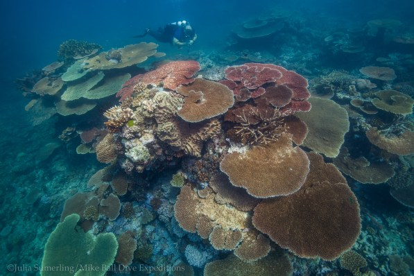 Table corals abound at Trolley Shoals
