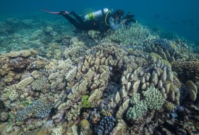 A diver checks out a hill of hard coral at Raine Island