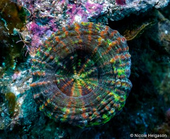If you are diving in the Caribbean, the Scolymia coral is the true diamond in the rough. The search never ends for the endless combinations of the colorful species.