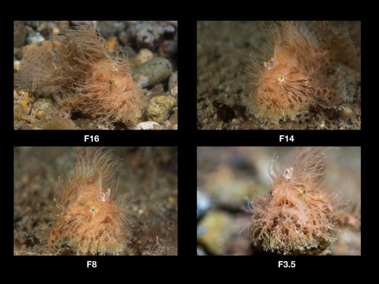Hairy frogfish are one of my favorite subjects. They are colorful, photogenic and have some great behaviors. In this example, we can see how the change in f-stop alone can have a dramatic impact on your image.