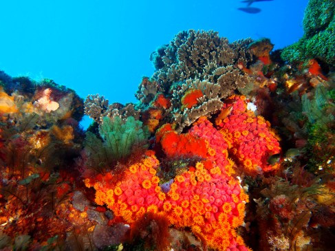 Soft corals are only one of the highlights at many sites on Lord Howe Island. (Photo credit: Pro Dive Lord Howe Island)