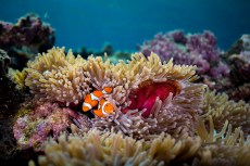Colors popped at Kicha, from the healthy soft coral to the resident clownfish, warily guarding their anemone and confronting all intruders. (Photo credit: Matt Smith)