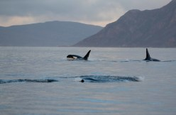 Orcas surface in the fjord near the boat, providing a tantalizing view as they make their way through the fjord in search of food.