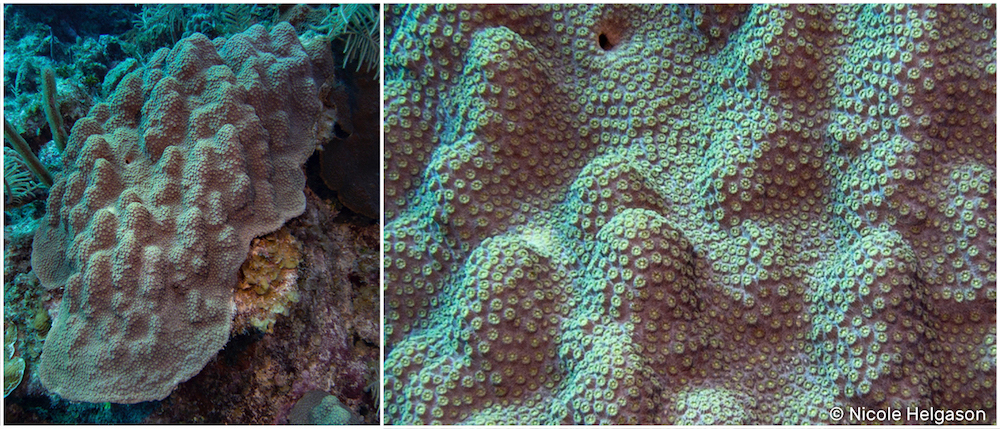 It's hard to tell Orbicella corals apart just from looking at the polyps. Instead, focus on the colony shape and size.