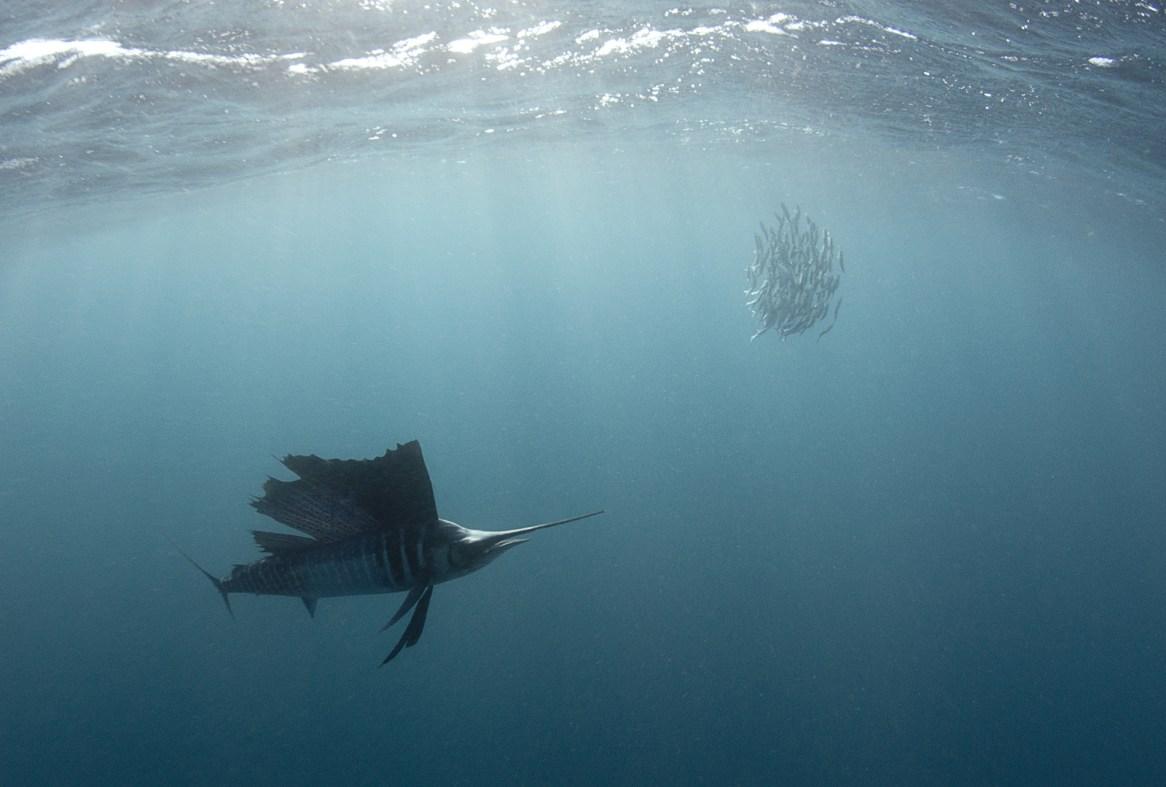 sailfish ocean's fastest animals