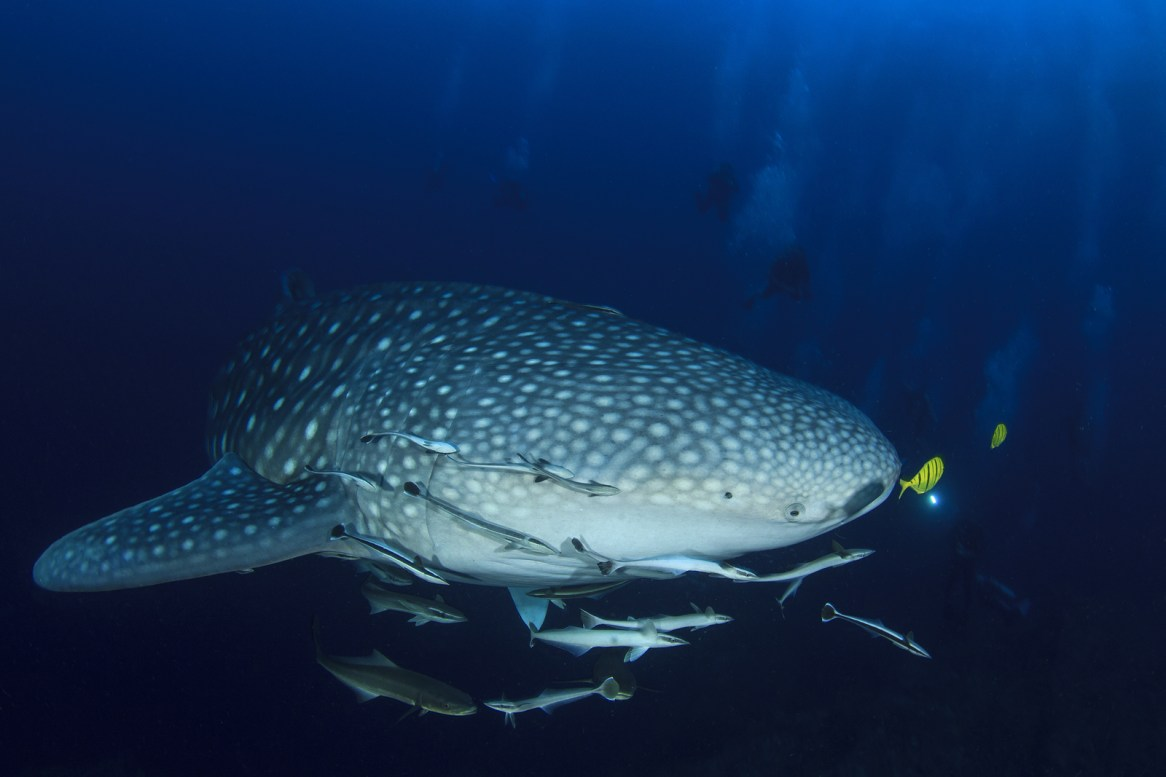 Whale Shark and Scuba divers.