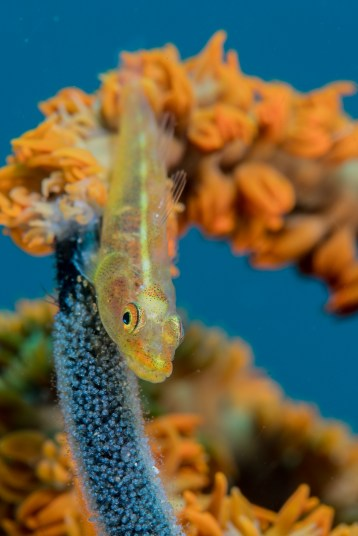3-whip coral goby-blue (1 of 1)