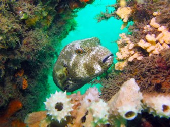 A pufferfish at Chowder Bay