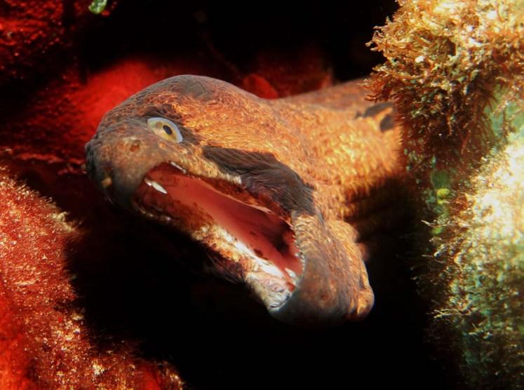 Moray eels inhabit the reefs' nooks and crannies. (Photo credit: Kat Spruth)