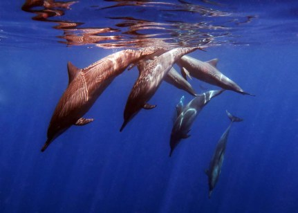 4. Dolphins often join you for a snorkel during a surface interval. (Photo credit: Kat Spruth)
