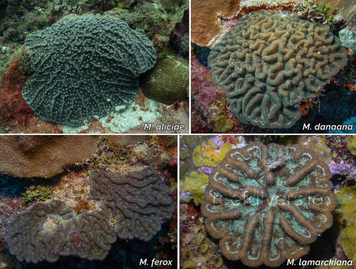 Four species of Mycetophyllia