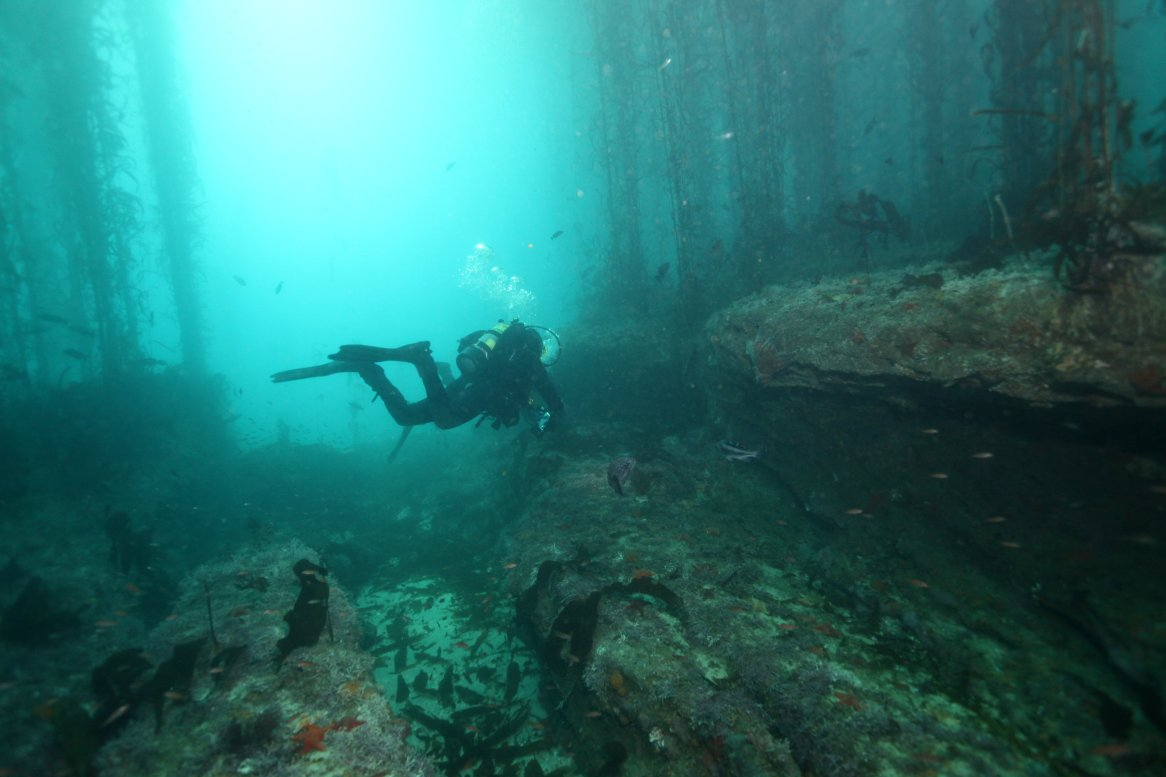 A diver glides through an opening in the giant kelp forest. (Photo credit: Chad King/NOAA)