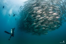 The iconic school of jacks in Cabo Pulmo, Baja California, Mexico, swims by my dive buddy — a dive encounter I had long dreamed of. Visibility wasn't great during our visit, but suddenly this massive school of fish appeared from the dark like an approaching shadow. Shot with: Canon 70D, Tokina 10-17mm fisheye, Sea & Sea housing