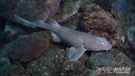 cook island - colcloughs shark