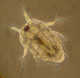 Believed to be a copepod larva. Photo courtesy of Merry Passage.