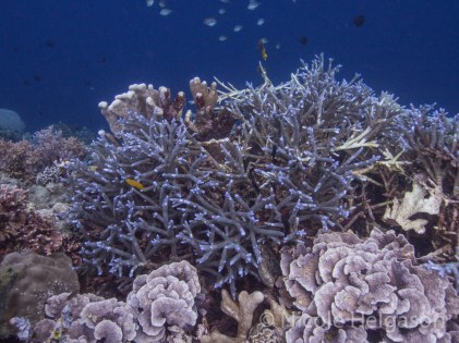 Branching corals can have long, dispersed branches or short compact branches.