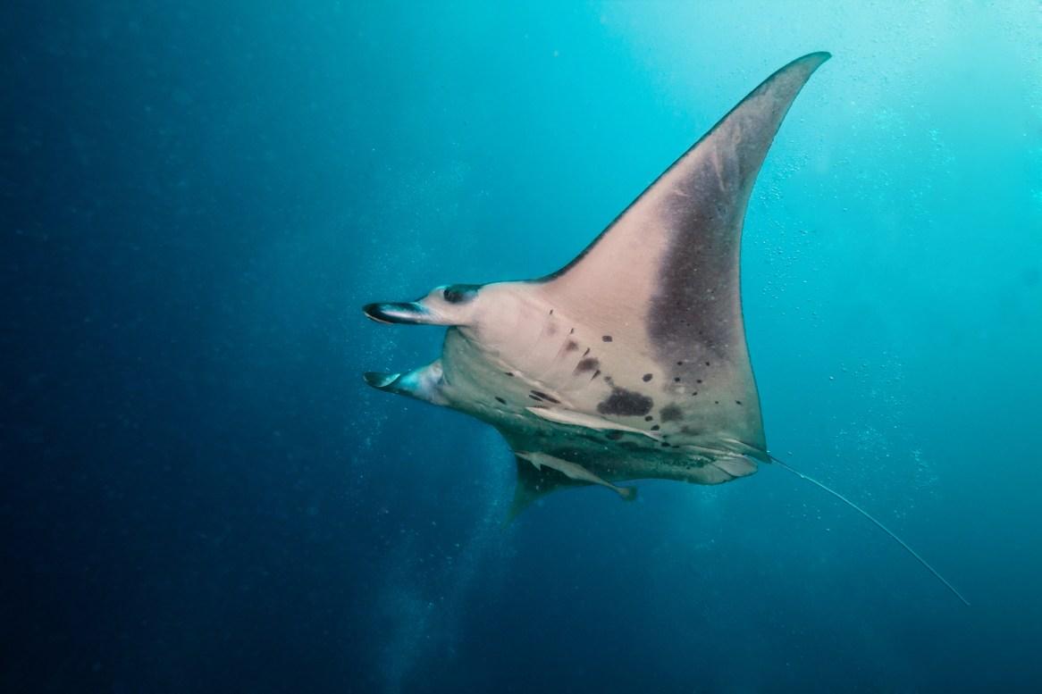 Beautiful big manta ray floating in deep blue ocean, Indian ocea