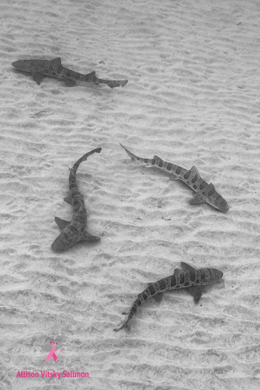 Leopard sharks in California. Photo credit: Allison Vitsky Sallmon