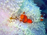 True clowns at Coral Expeditions dive site diving Sudbury Reef Great Barrier Reef Queensland - Diveplanit