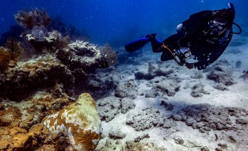 Scientists document stony coral tissue loss disease as it infects nearly two dozen stony coral species on the Florida Reef Tract. Photo: Nick Zachar/NOAA