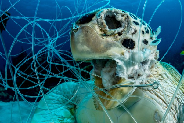 This green sea turtle tangled in fishing line and drowned. There are all kinds of pollutants dumped in our oceans and most go unseen. Image made off Eleuthera Island, Bahamas. Shot with: Nikon D500, Aquatica housing and Mini Dome, Tokina 10-17mm fisheye lens and twin Sea&Sea YS250 strobes