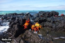 Brightly colored crabs litter the rocks at North Seymour, creating a vivid contrast to the gray rocks. Photo credit: Nadia Aly