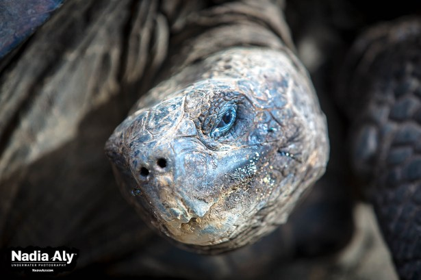 Hunted almost to extinction, giant tortoises on the Galapagos are now protected and visiting them has become an essential part of a Galapagos trip. Photo credit: Nadia Aly