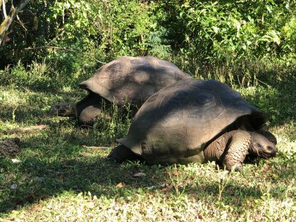 Although they're quite expressive, giant tortoises are quite shy and spend most of their time eating and sleeping. Photo credit: Rebecca Strauss