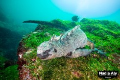 Marine iguanas are endemic to the Galapagos, meaning you'll only see them here. Dive with them at Cabo Douglas to get up close and personal. Photo credit: Nadia Aly