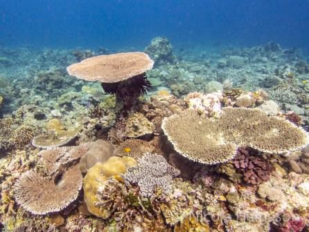 Different plating forms of Acropora corals (Photo credit: Nicole Helgason)