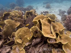 It's easy to spot this yellow Turbinaria scroll coral. (Photo credit: Nicole Helgason)
