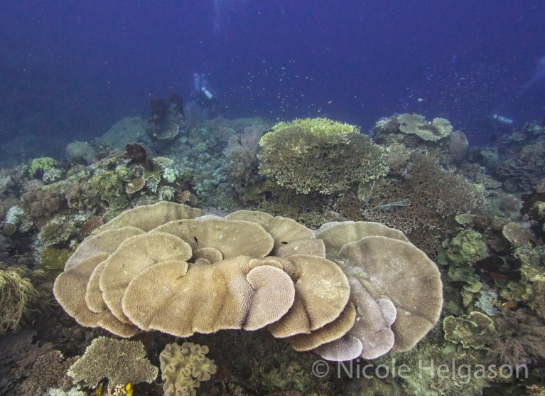 Turbinaria corals form thick plates with large polyps that extend during the day. (Photo credit: Nicole Helgason)