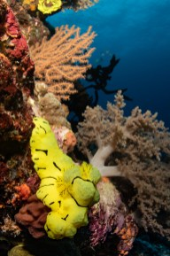 Can you spot the colorful nudibranch in the foreground? Tufi dive sites are paradise for macro photographers. (Photo credit: Saeed Rashid)