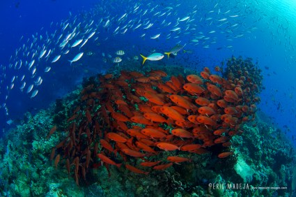 There are so many fish on Tufi's dive sites it can be hard to see the coral structures underneath. (Image courtesy of Tufi Dive Resort)